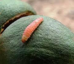 Nut Borer